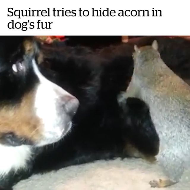 Squirrel tries to hide acorn in dog's fur