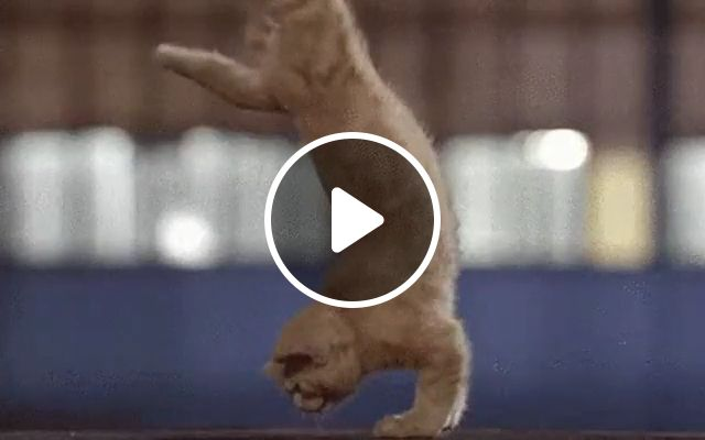 Cats Exercise - Video & GIFs | funny cat, funny pet, exercise, healthy body, run, abdomen exercises