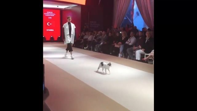 Cat walks the catwalk