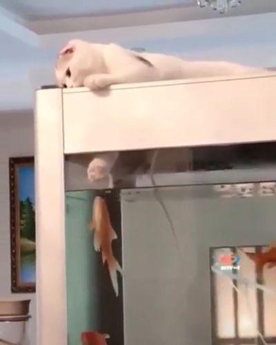 Brave Goldfish