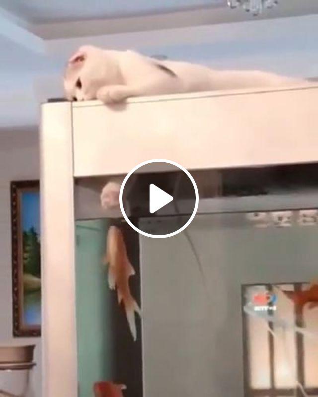 Brave Goldfish - Video & GIFs   goldfish, aquarium, cute cat, funny pet