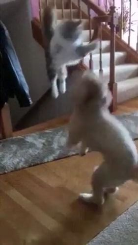 And His Name Is John Cena - Funny Videos - funvizeo.com - brave cat,funny cat,funny dog,funny pet,stairs