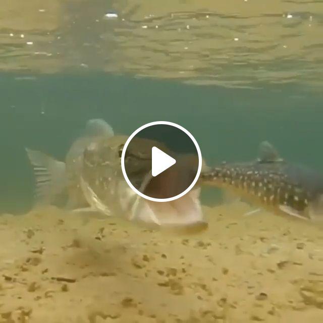 Big Fish Eat Little Fish - Video & GIFs | animal, fish, eat