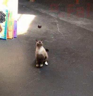 No fear - Funny Videos - funvizeo.com - cat,pet,ball