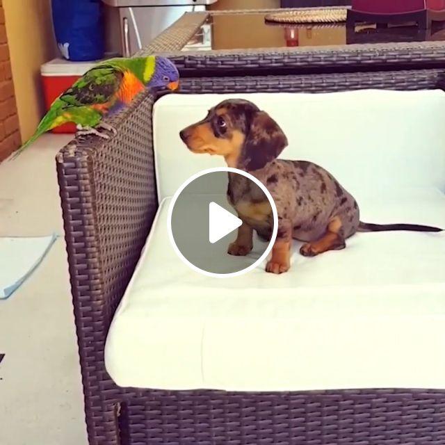 Angry Bird - Video & GIFs | parrot, dog, pet, angry, bird