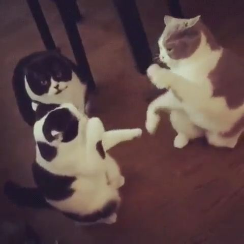 The way that polite cats fight