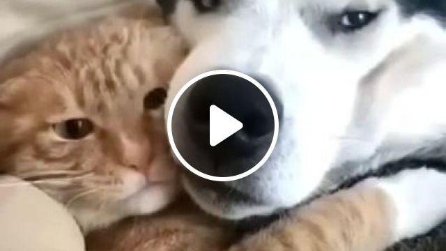 Friendship - Funny Videos - funvizeo.com - siberian husky,cute cat,cute dog,cute pet,friend