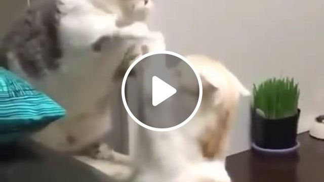 Do you know how polite cats fight?