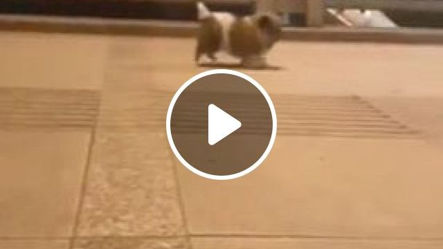 Lovely short legs - Funny Videos - funvizeo.com - Short Legs, Adorable Puppy, Cute Pet, Walking Dog