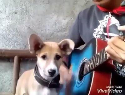 Best singing dog - Funny Videos - funvizeo.com - dog,pet,guitar,sing, singing