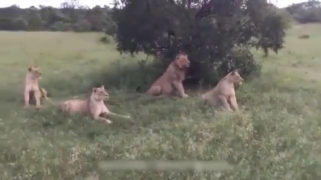 Wild boar teasing lions
