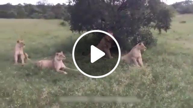 Wild boar teasing lions - Funny Videos - funvizeo.com - lion,boar,funny animal,run,nature