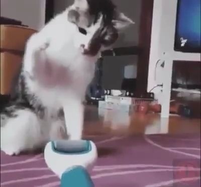Shy Cat, haha - Funny Videos - funvizeo.com - funny cat,funny pet,cat toy,run,cat walking on two legs
