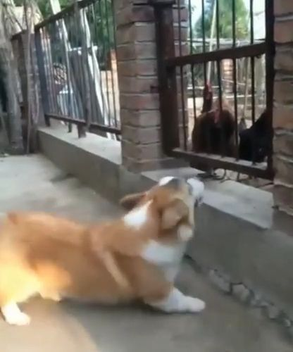 Unexpected reality, lol, dog, chicken, pet, reality