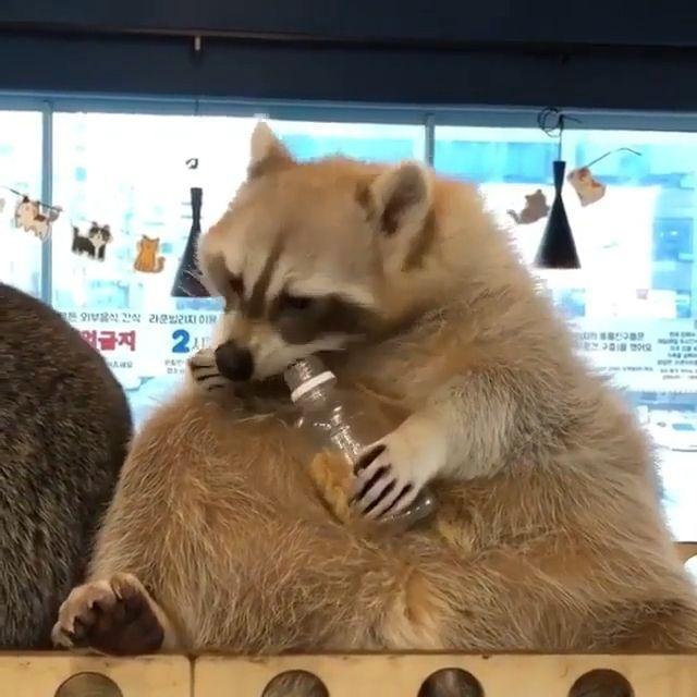 Yummy Yummy - Funny Videos - funvizeo.com - animal,racoon,eat