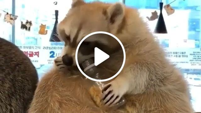 Yummy Yummy - Funny Videos - funvizeo.com - animal,racoon,eat