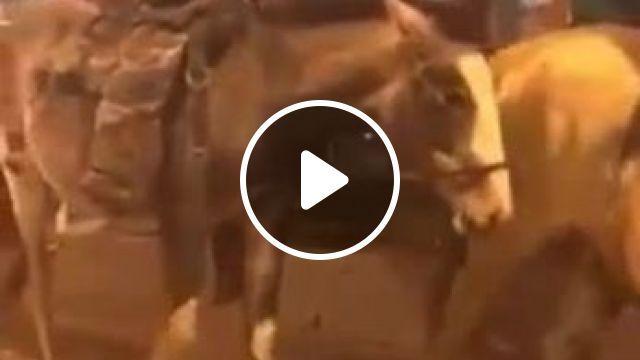 Cowdog, dog, pet, horse, cowboy, animal