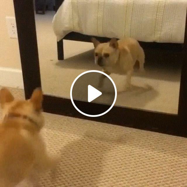 Mirrored Dance Practice, pug dog, dancing dog, funny pet, mirror