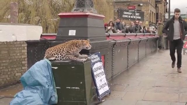 Leopard spotted in London