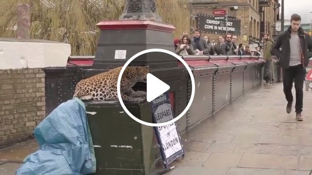 Leopard spotted in London - Funny Videos - funvizeo.com - leopard,london, prank, humor