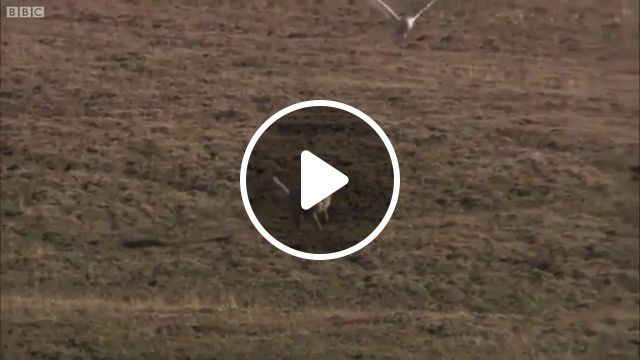 Funny Snow Owl Teasing Wolves - Video & GIFs | funny animal videos, owl, wolve, teasing, wild animal