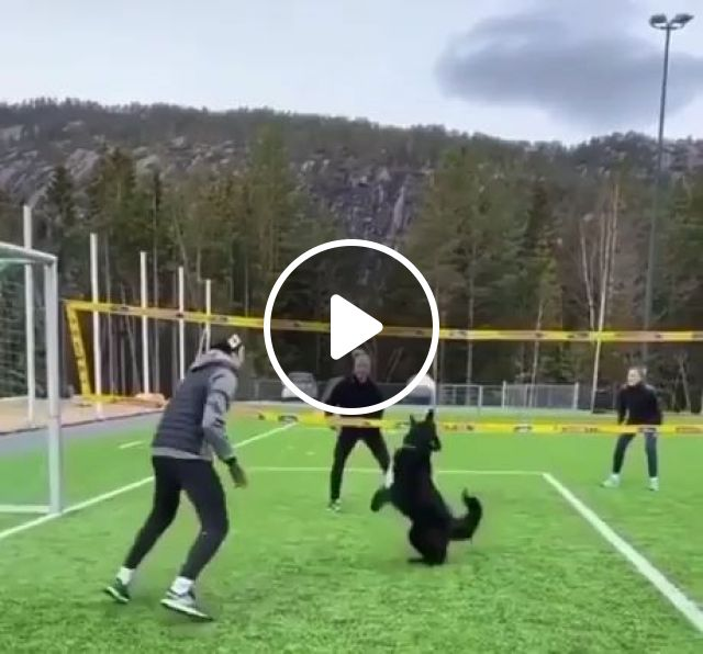 Dog Can Play Volleyball Better Than Most People, funny dog, clever, funny pet, awesome, funny, volleyball
