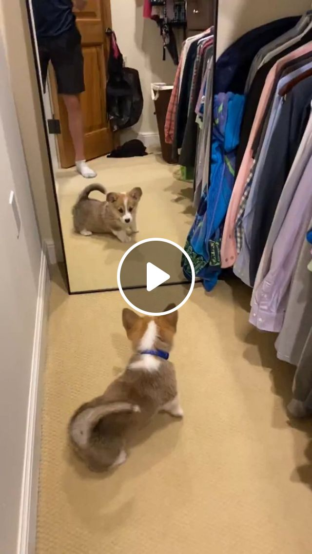 Baby Dog Looking In Mirror - Video & GIFs   funny dog videos, funny pet, pembroke welsh corgi, mirror, puppy