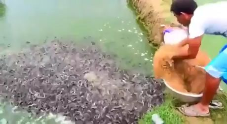 Amazing fishes feeding - Funny Videos - funvizeo.com - fish,feeding,awesome,funny