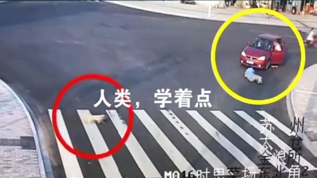 Dog Obeys Traffic Rules and Crosses Road Better Than human - Funny Videos - funvizeo.com - funny,funny dog videos,funny pet