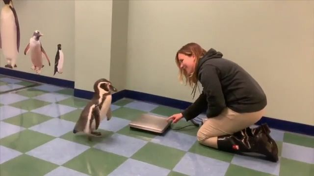 Check the weight of cute penguins - Funny Videos - funvizeo.com - cute animal videos,penguin,zoo,adorable