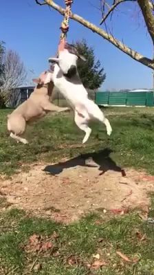 Games For Dogs - Funny Videos - funvizeo.com - bulldog, pug, funny dog, funny pet, rope, dog toy