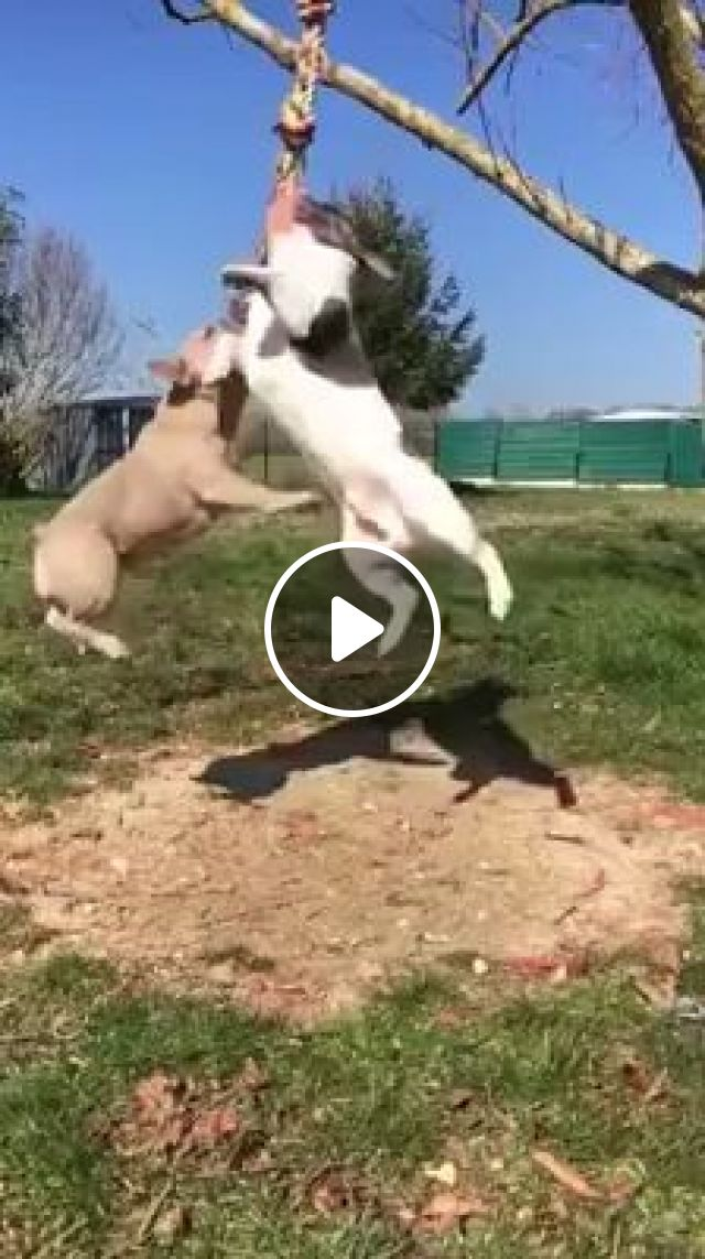 Games For Dogs, bulldog, pug, funny dog, funny pet, rope, dog toy