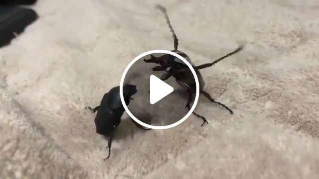 MMA version of the beetle - video - funvizeo.com - mma, fight, beetle