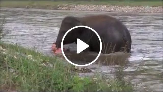 Baby elephant rescues man swimming in a river