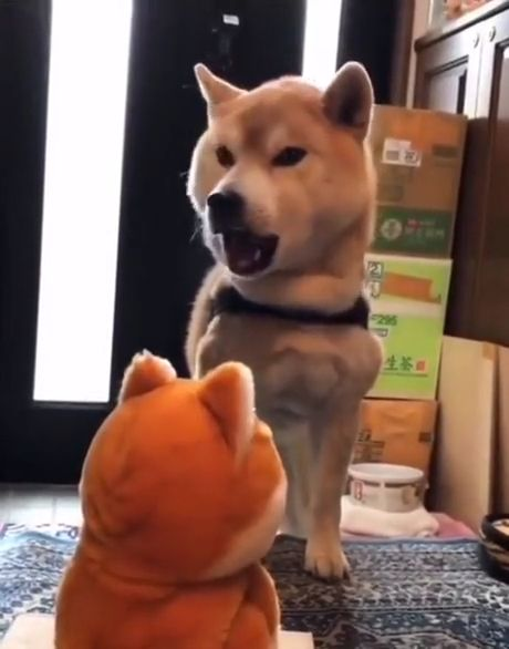 Do not imitate me - Funny Videos - funvizeo.com - shiba inu,funny dog videos,funny pet