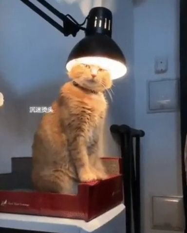 This cat wants to be a Lamp - Funny Videos - funvizeo.com - funny cat videos,funny pet,lamp