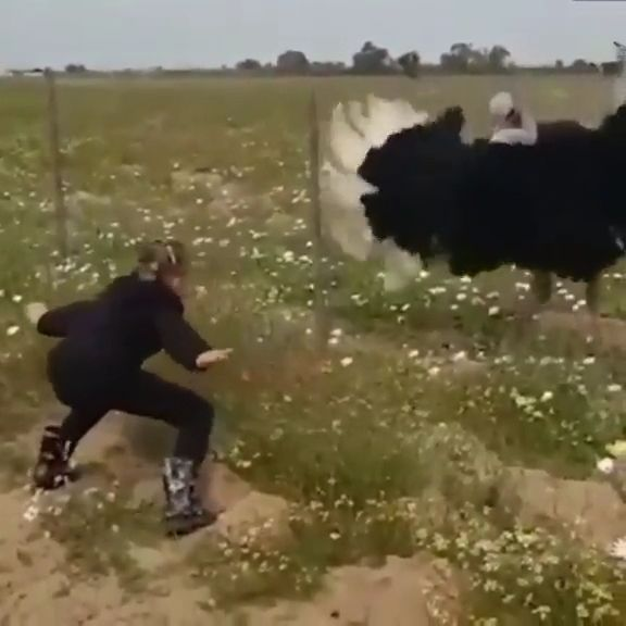 Girl Dances With Ostrich