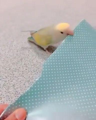 Lovebirds make pretty paper tails - Funny Videos - funvizeo.com - cute bird,cute animal,parrot