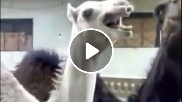 Have you heard the camel laugh? haha