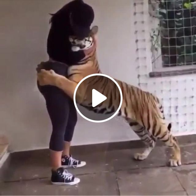HL Man 0_o - Video & GIFs | tiger, funny, wild animal