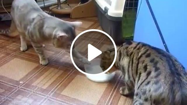 Two polite cats, cat, pet, milk, polite