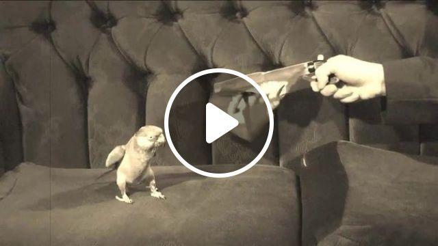 Bang, parrot, pet, performances
