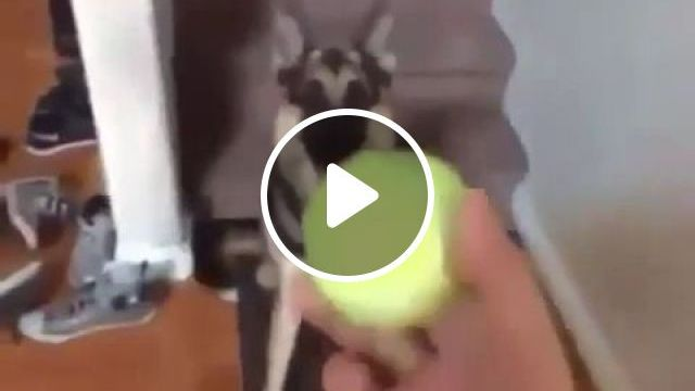 Do you think it's a stuffed dog?, prank, funny dog, funny pet, funny, ball, tennis, living room