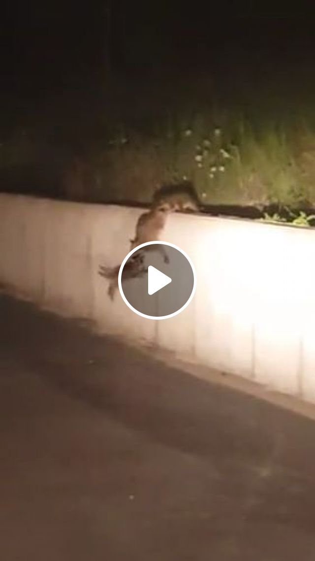 Mission Impossible: High wall, raccoon, animal, climb
