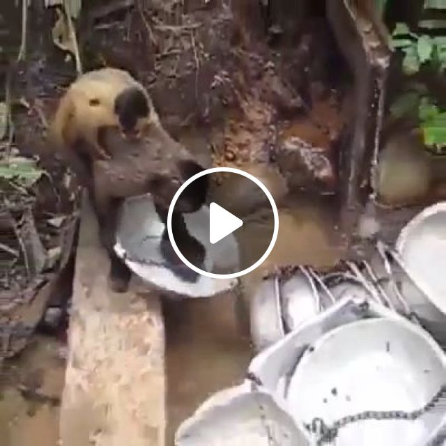 Let me help human clean up, monkey, wash dishes, wild animal, nature, aluminum pots