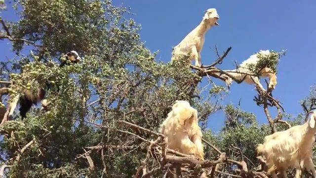 Tree-Climbing Goats