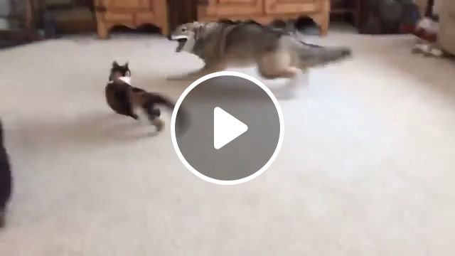Come on, don't be afraid, boss, dog, cat, pet, run, fight