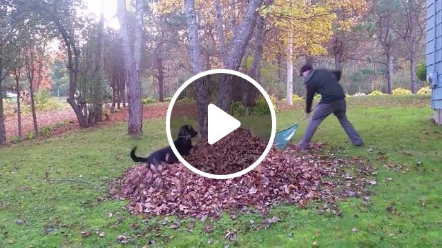 Dog helping his owner clean the garden, funny dog, funny pet, garden, leaf, tree
