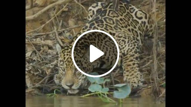 Difference between jaguar and.... cat, cat, pet, jaguar, animal