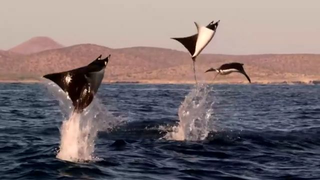 Incredible Flying Rays! - Funny Videos - funvizeo.com - funny animal videos, wild animal, sea, beautiful nature